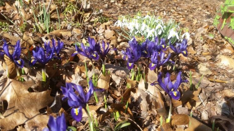 Iris and Snowdrop.jpg
