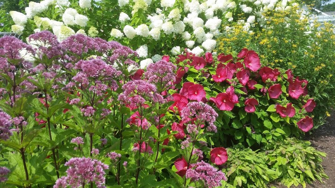 Eupatorium Hydrangea pan Hibiscus.jpg