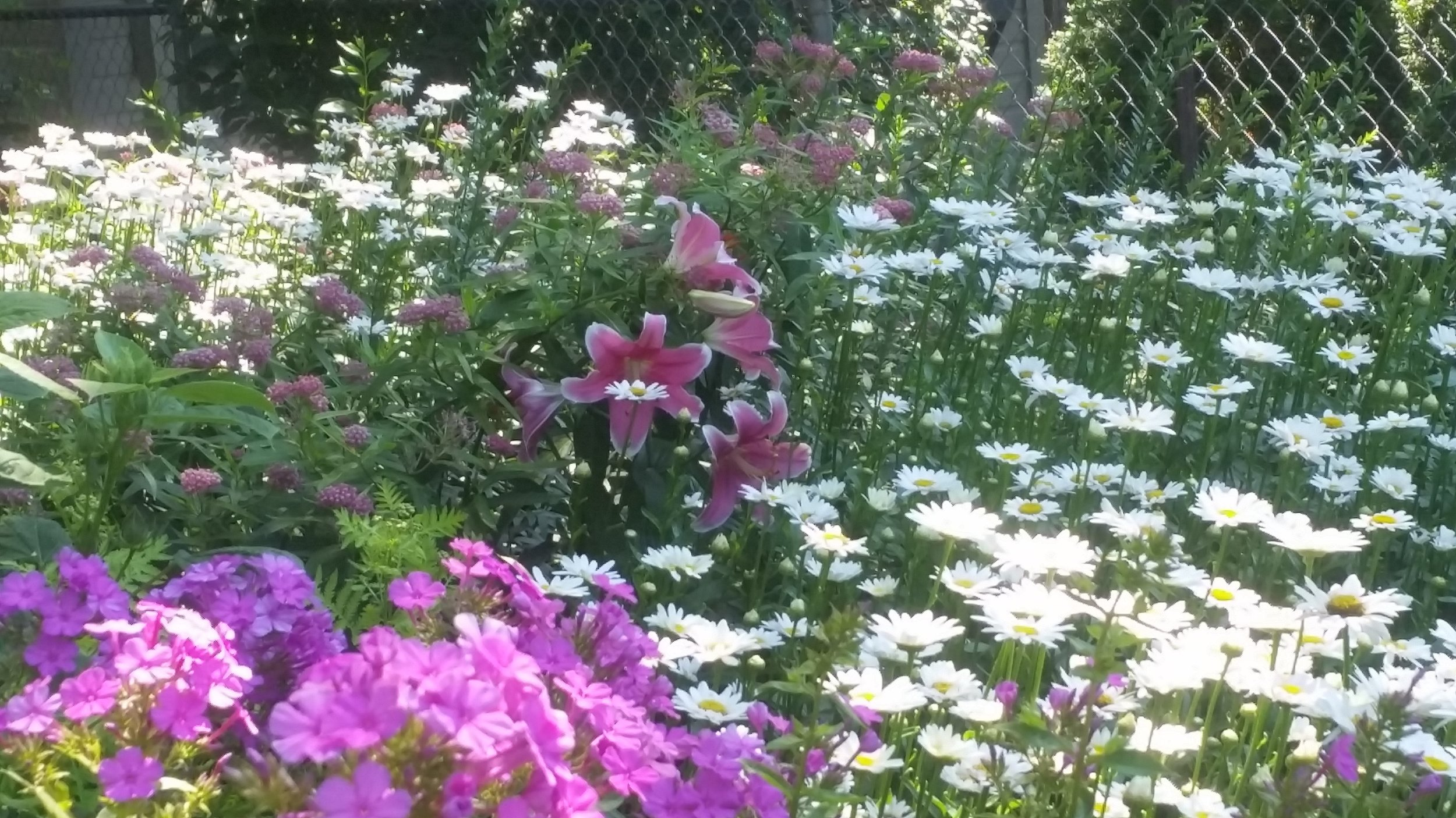 Lily daisy phlox.jpg