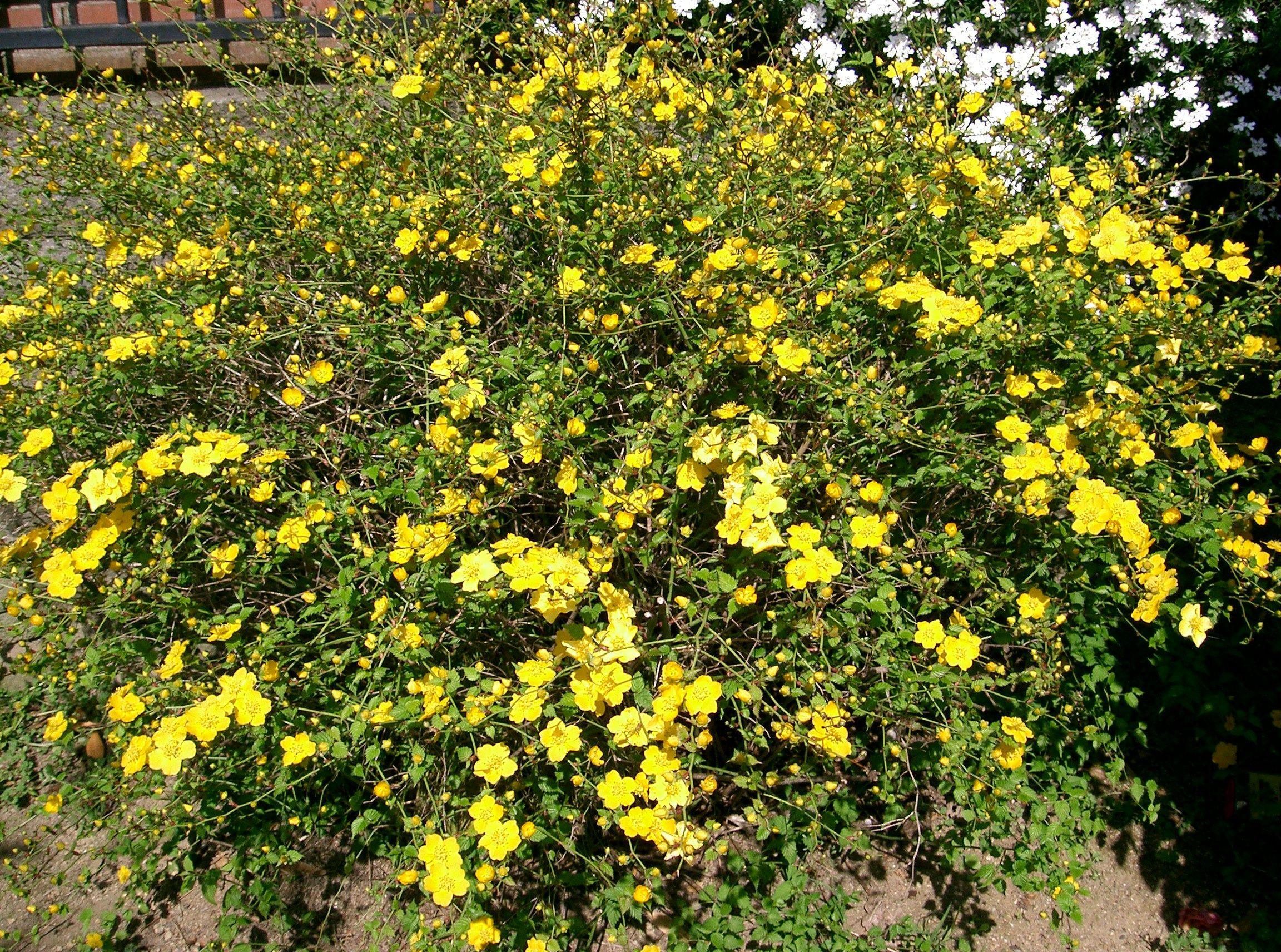 Kerria in full bloom
