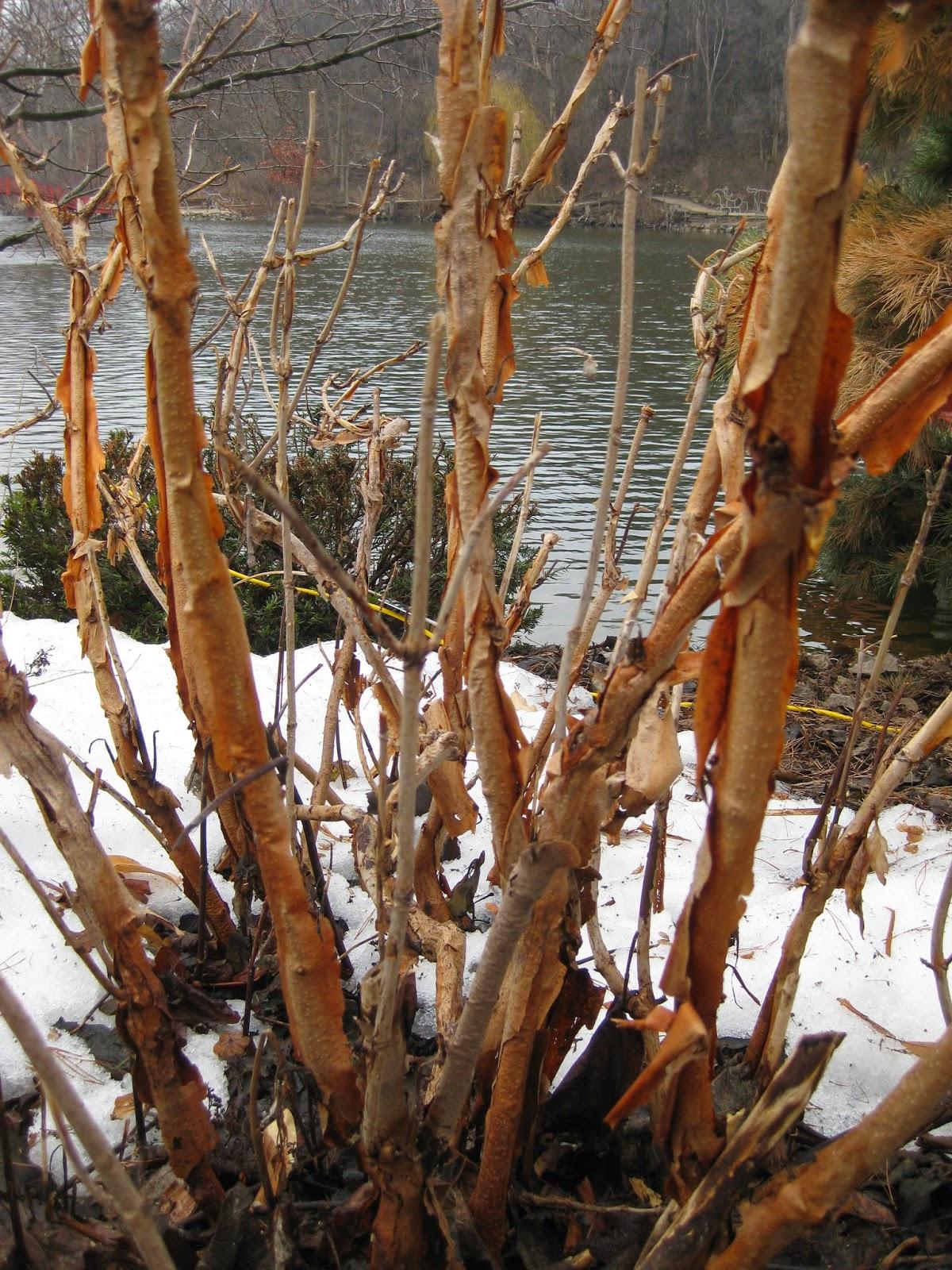 Oakleaf hydrangea winter bark.JPG