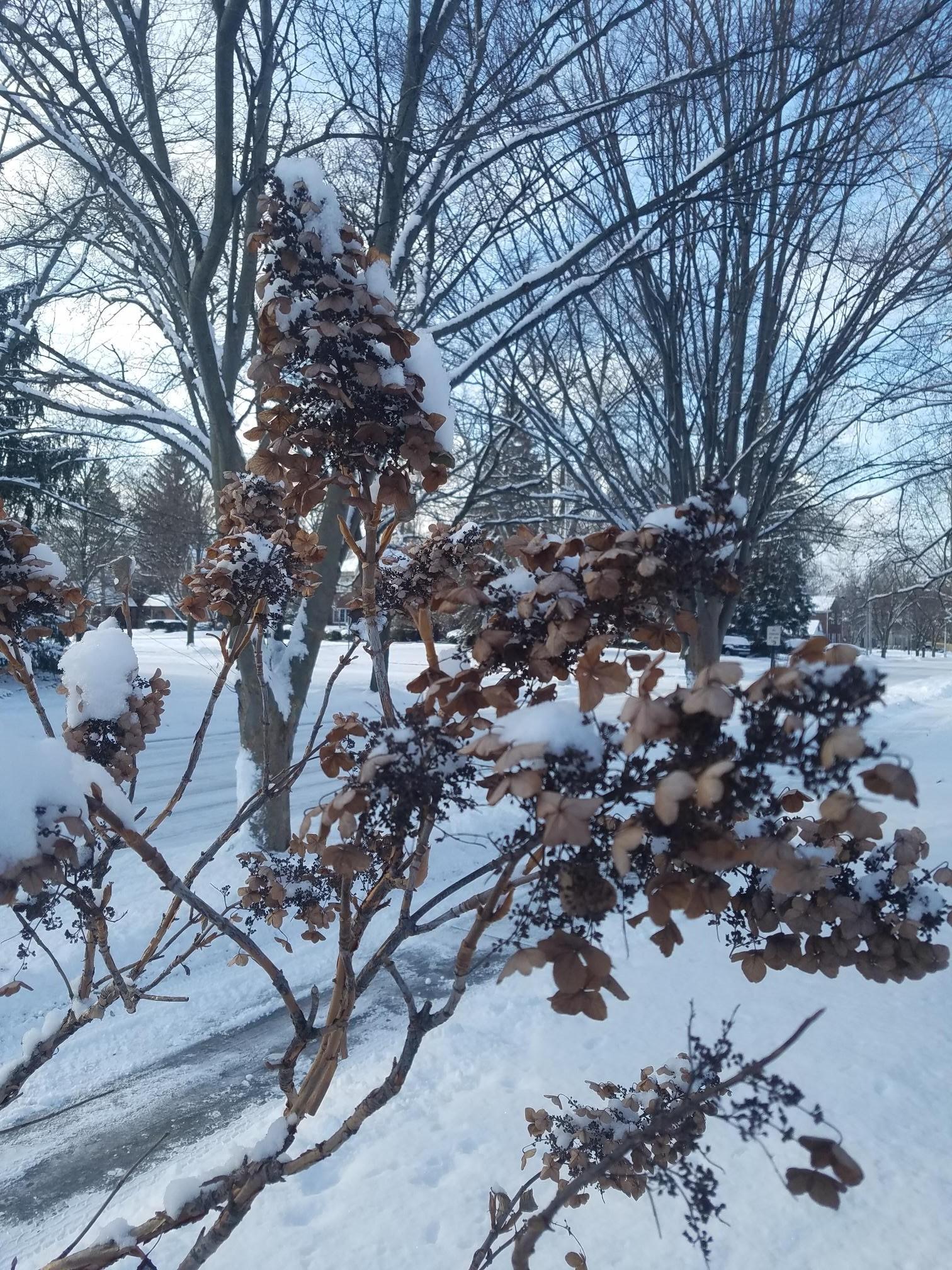 Oakleaf hydrangea winter blooms.jpg