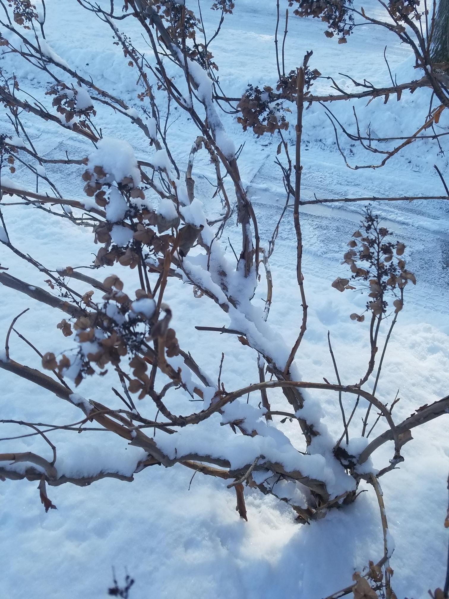 Oakleaf hydrangea snowy bark.jpg