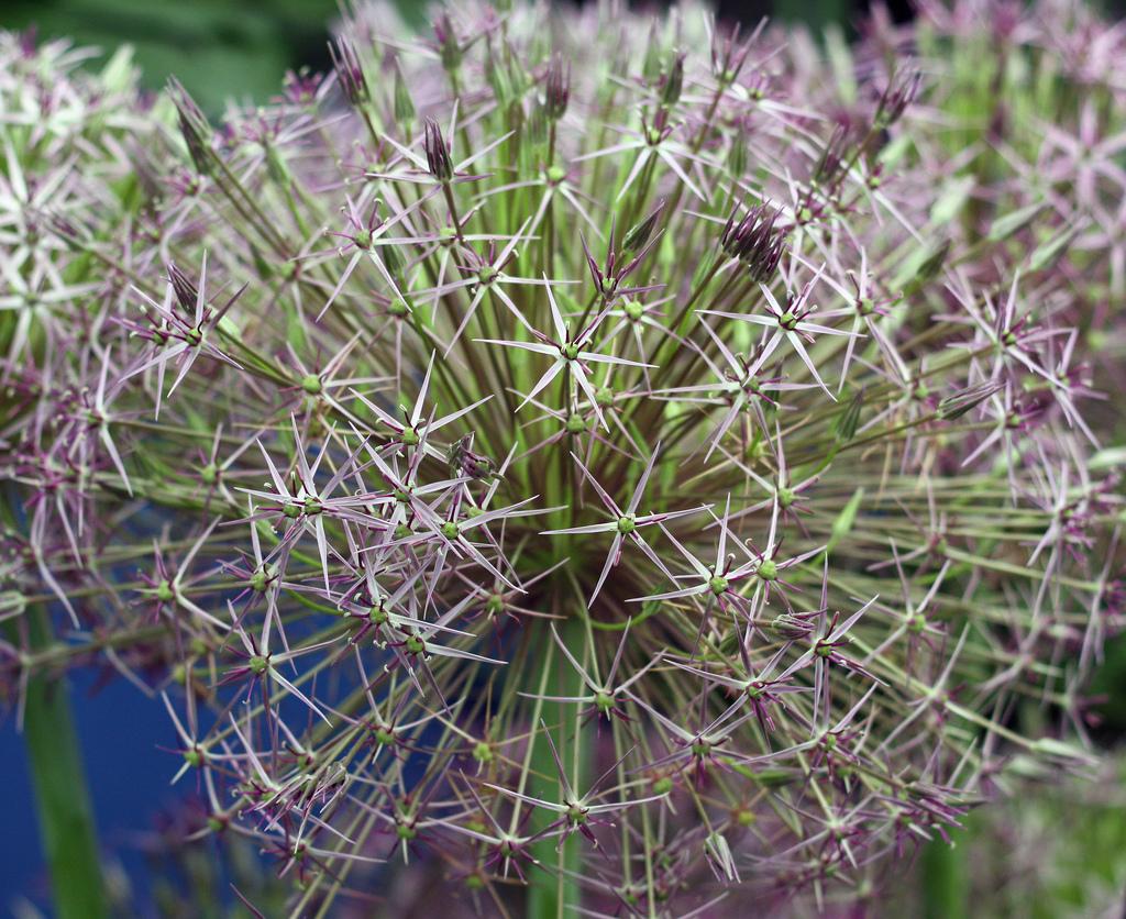 Allium 3.jpg