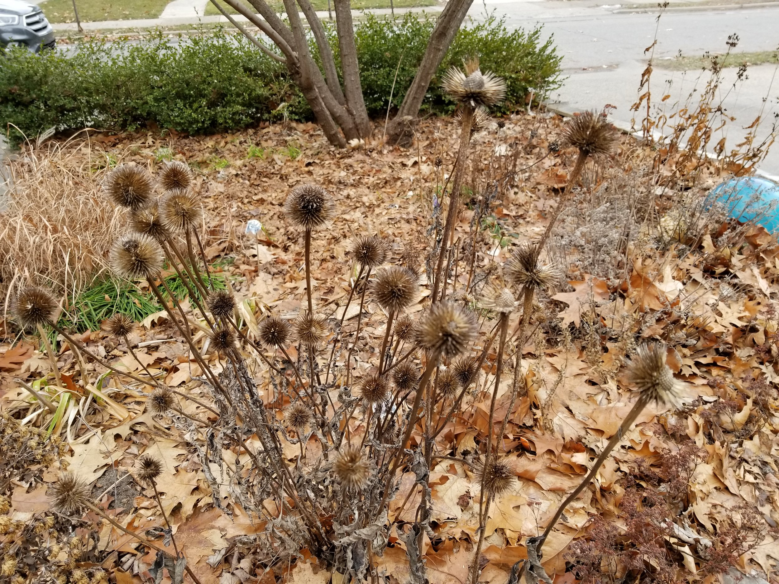 Echinacea in Winter 2.jpg