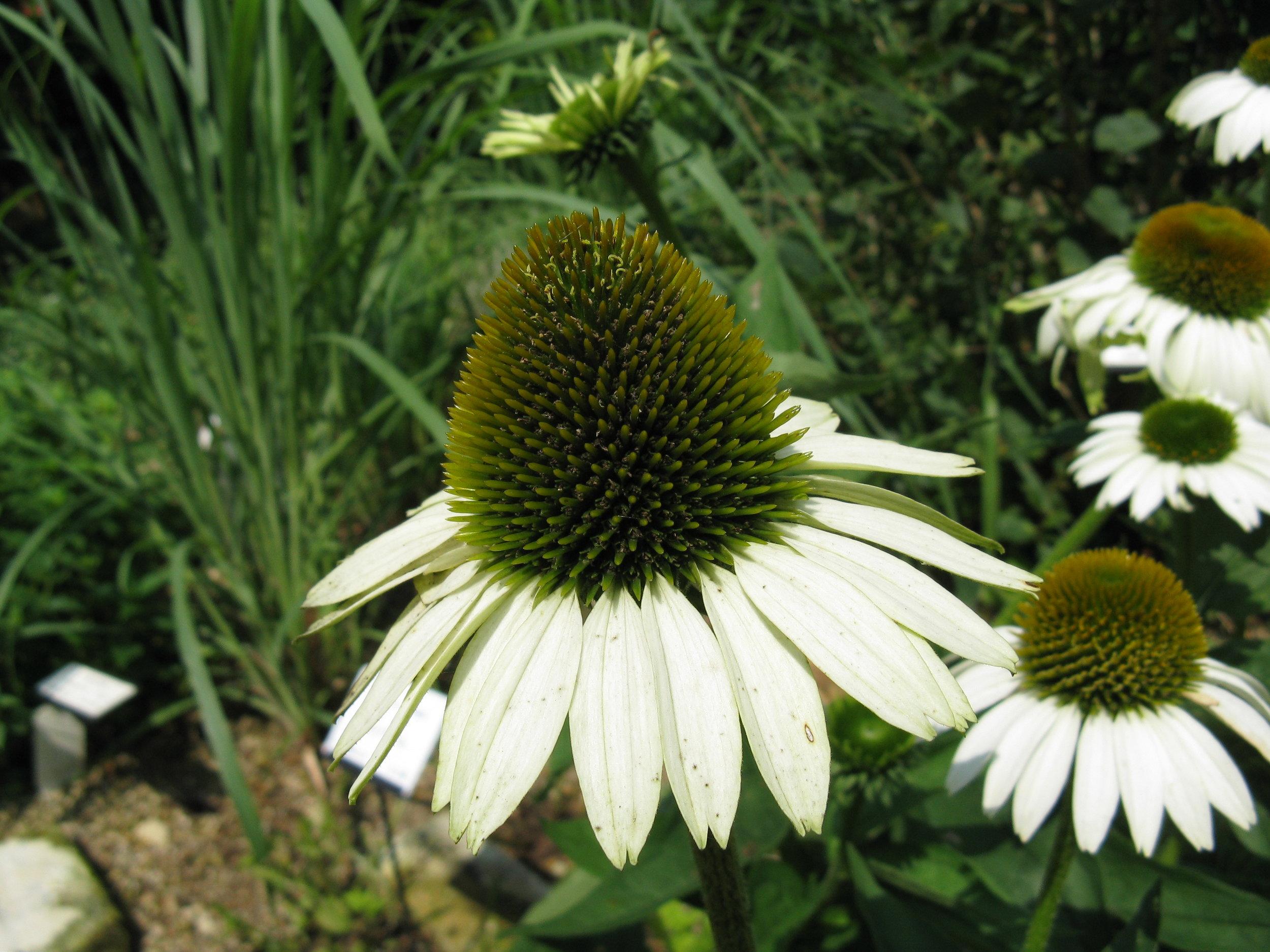 Echinacea White.jpg
