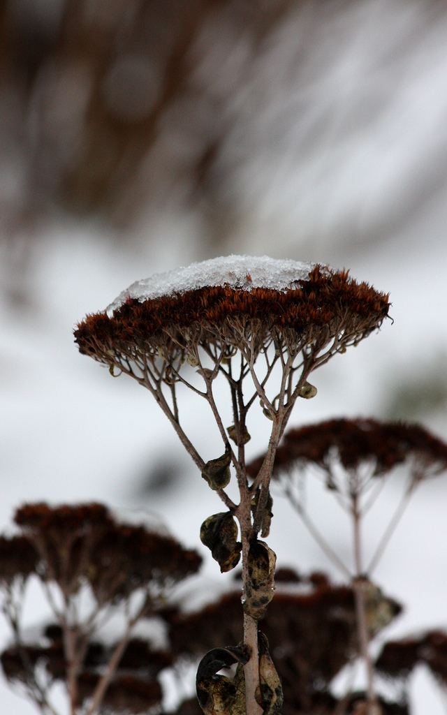 Sedum in Winter 2.jpg