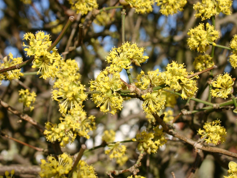 Cornus mas blooms