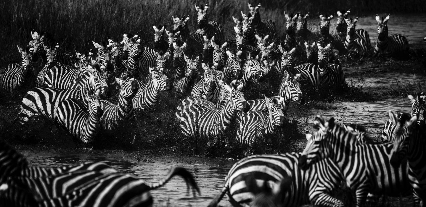 Above: Zebras crossing the river (2015)
