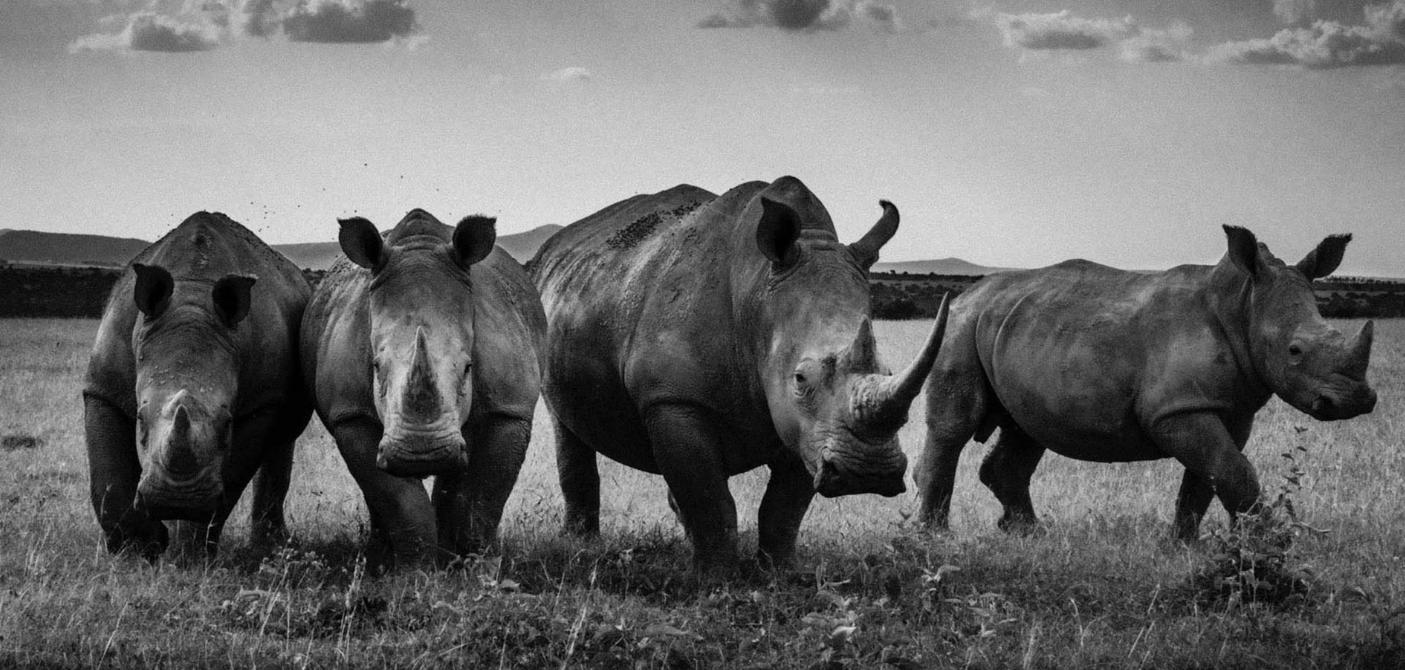 Above:Rhinos quartet (2013)