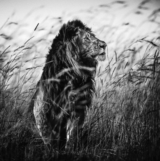 Above:Lion in the grass (2013)