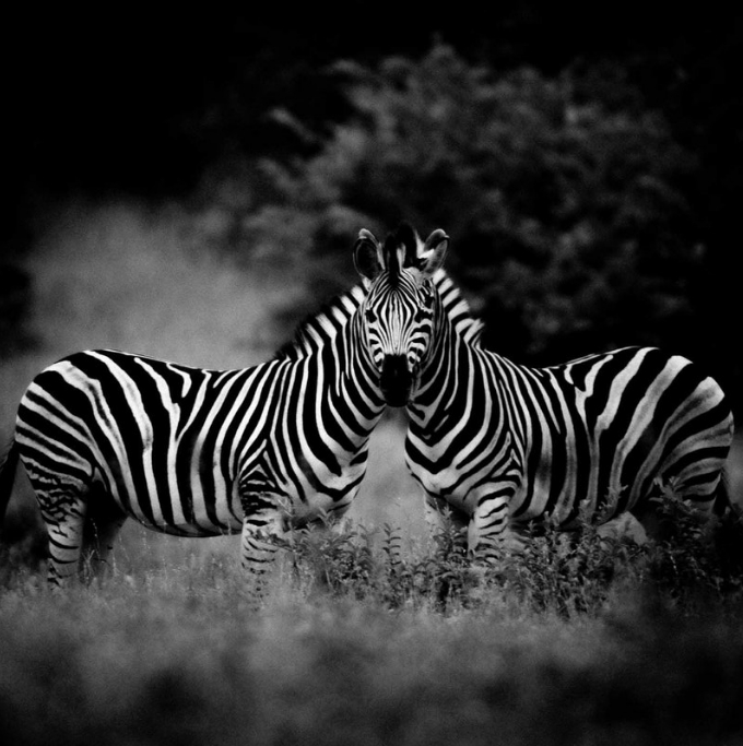 Above:Two zebras (2004)