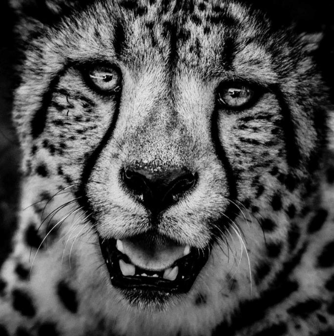 Above:Cheetah portrait (2013)