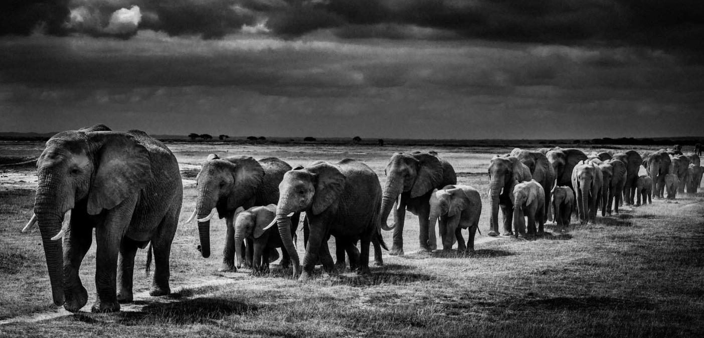 Above:Elephants crossing the plain (2013)