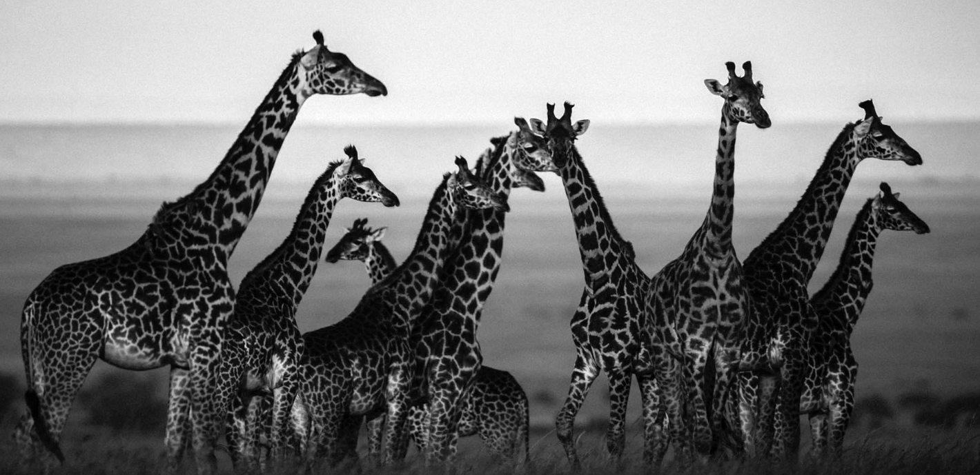 Above:Giraffe in harmony with their natural setting (2013)