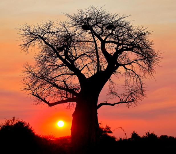 Baobab tree silhouetted against a Botswana sunset. Steve Jurvetson. CC 2.0