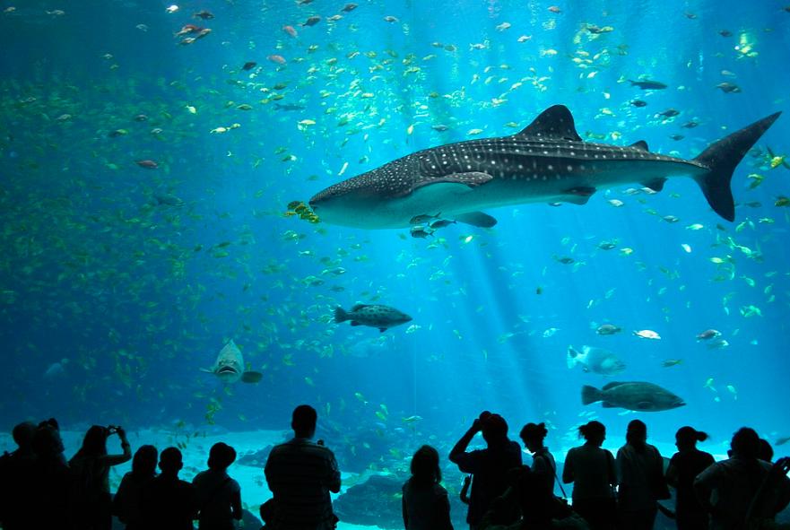 A Whale Shark at the GeorgiaAquarium. Zac Wolf.CC BY-SA 2.5.