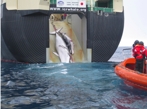 Two Minke Whales being loaded onto the Nisshin Maru. The ship has facilities on board which allow it to freeze and process whales while at sea. Australian Customs and Border Protection Service. CC BY-SA 3.0