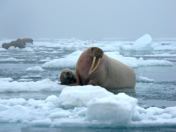 A female walrus and her pup sitting on an ice flow. US Geological Survey.