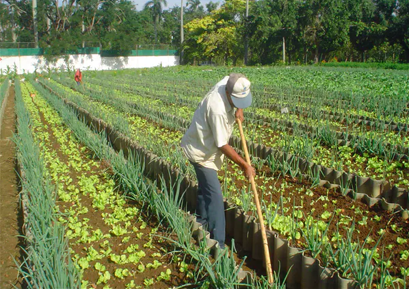 An organic farm in Havana, Cuba, that produces outputs averaging 20 kilograms (44 pounds) per square meter per year without agrochemical inputs. Miguel Altieri,  CC BY-ND
