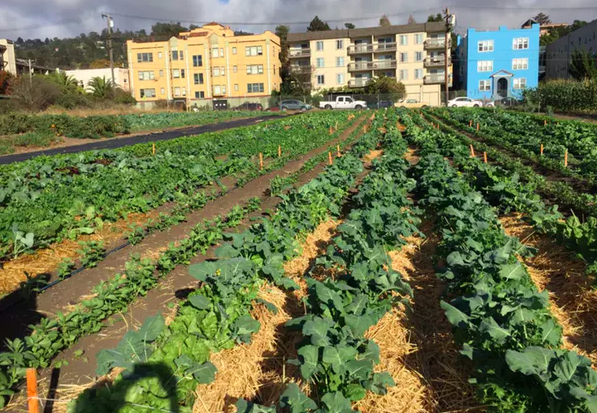 Research plots in Berkeley, Calif., testing agroecological management practices such as intercropping, mulching and green composting. Miguel Altieri,  CC BY-ND