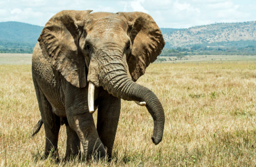 An elephant's tusks are used as foraging tools and weapons in combat. David Clode. Public Use.