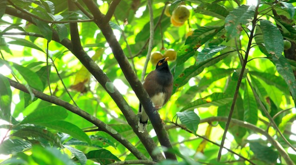 A black-winged mynah bird on a branch in Kerala, India. Ambady Sasi. CC0.