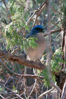 Mexican jays range north into the U.S. through the Big Bend region and in southeastern Arizona.  NPS/Cookie Ballou