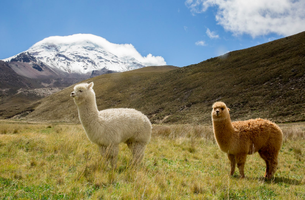 Native alpacas graze near the Chimborazo Volcano during Purposeful Nomad's trip to Ecuador where the group learns about local non-profit, Paqocha's, mission to restore alpaca populations and meets the community who sheers, cleans, and spins the fleece. Caitlin Murray. Purposeful Nomad.