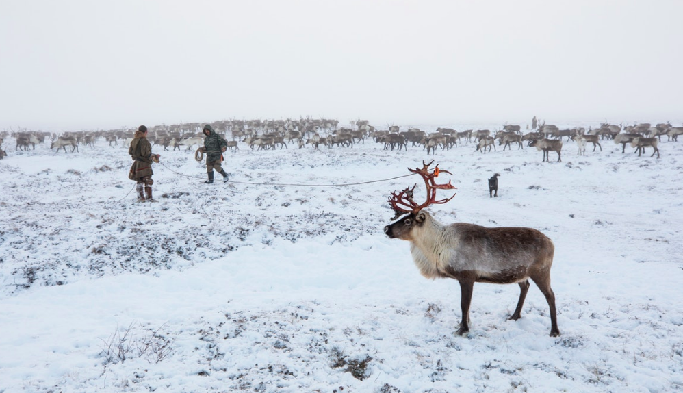In order to migrate, the eight hundred reindeer that make up the herd must be corralled into a tight circle