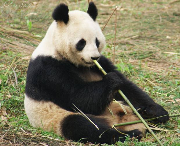 The Panda is an example of a species that was once endangered but is now vulnerable. Photo by Ju Santana C.C. 2.0.