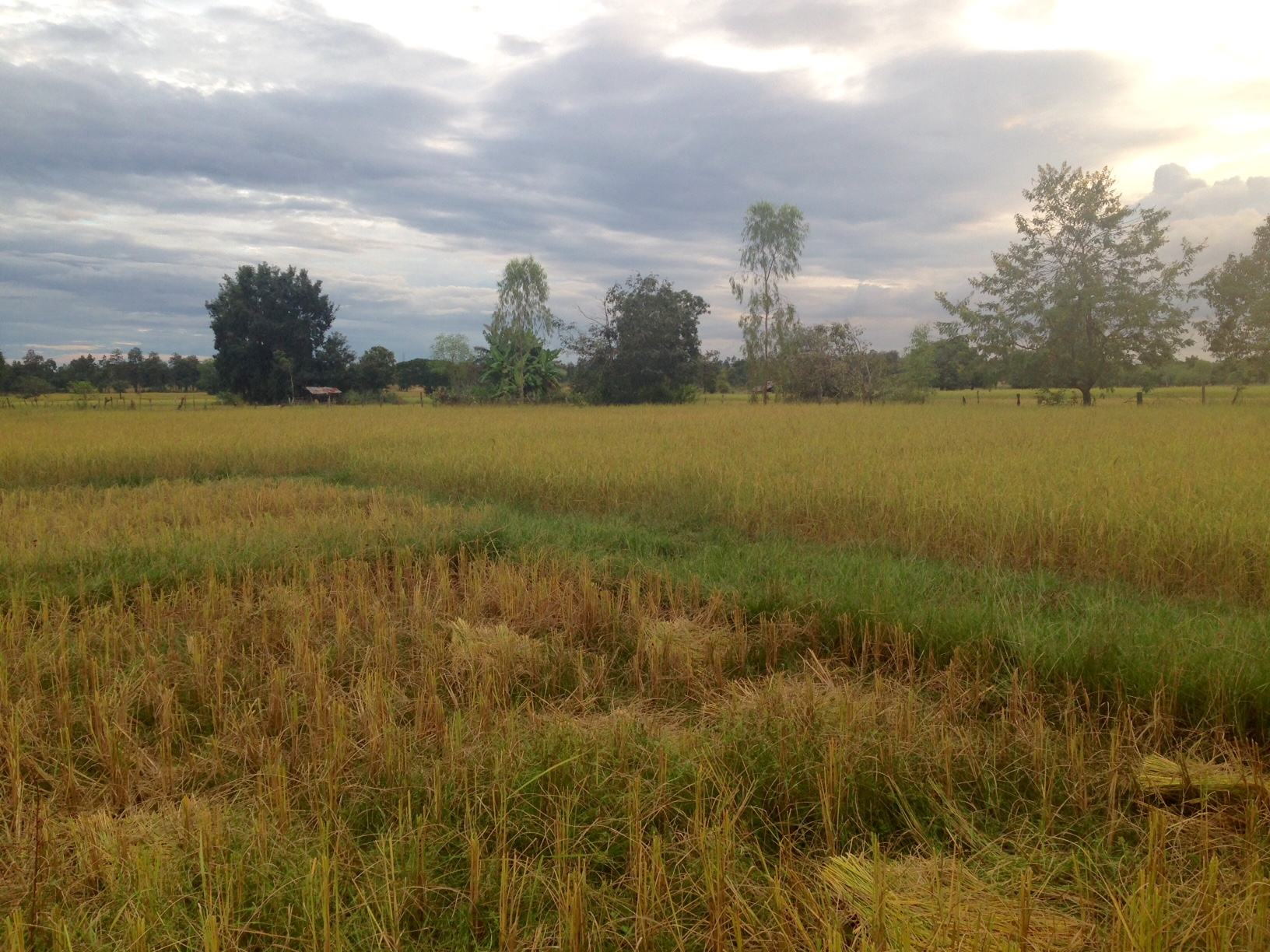 In the foreground: rice fields that have been harvested, surrounded by rice fields awaiting harvest
