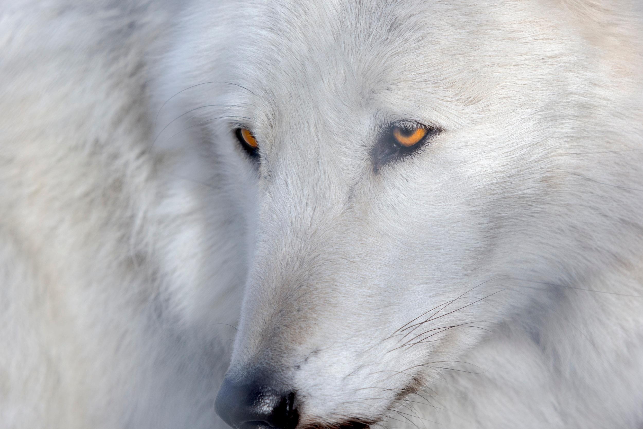 South Salem Wolf Conservation Center -