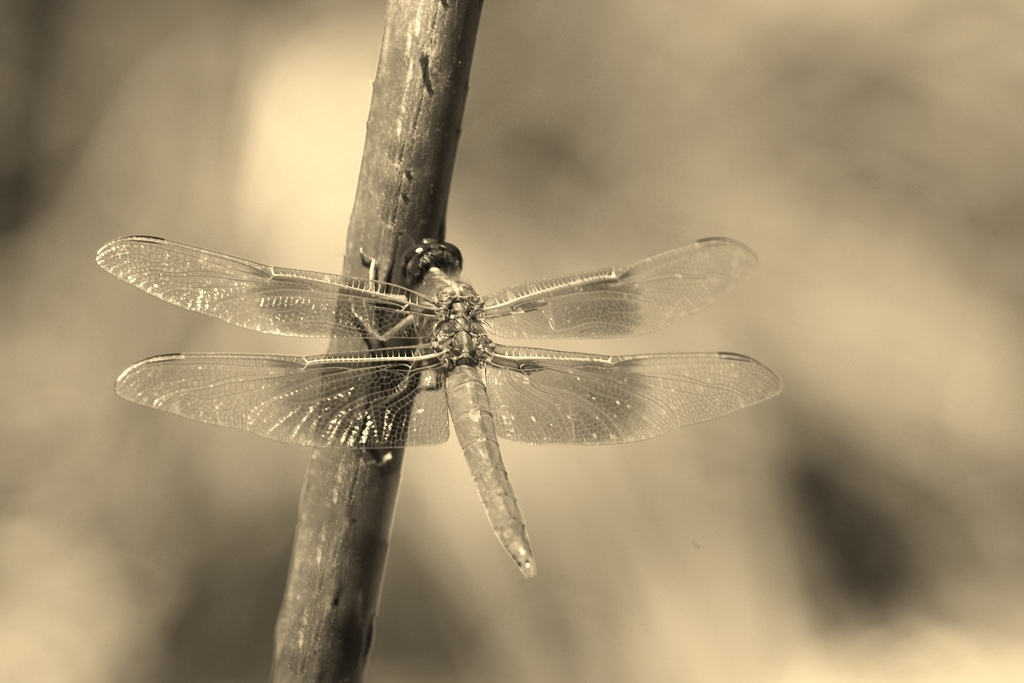 Dragonfly for Homepage.jpg