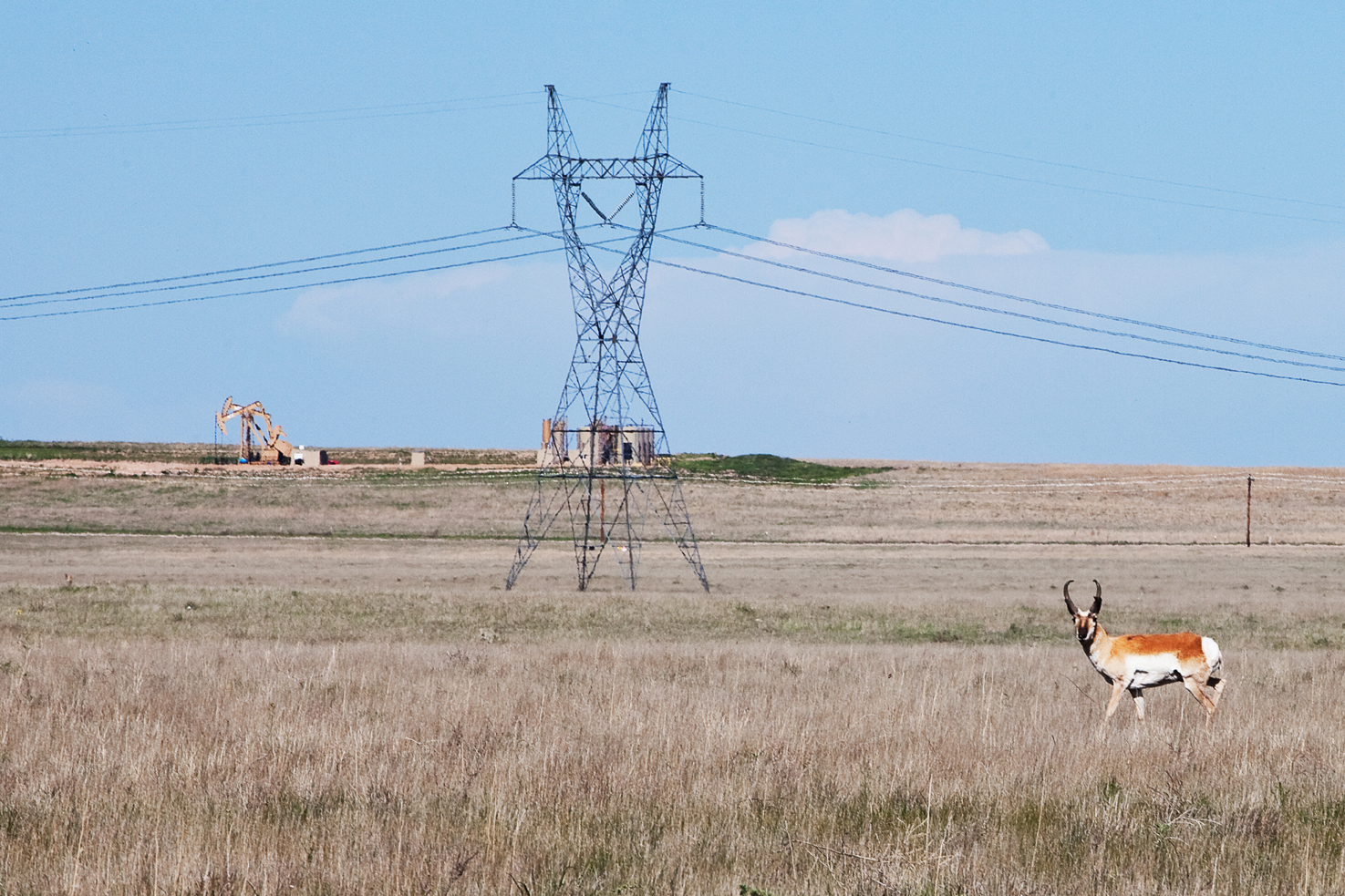 Pronghorn, seen within 1/2 mile of entering the park on CO-14 near Keota.