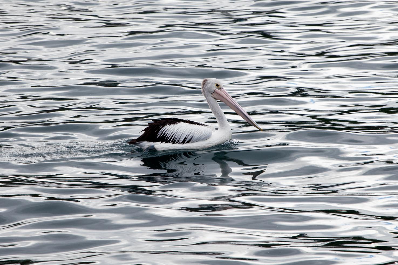 A giant pelican swimming in Kiama, NSW, Australia