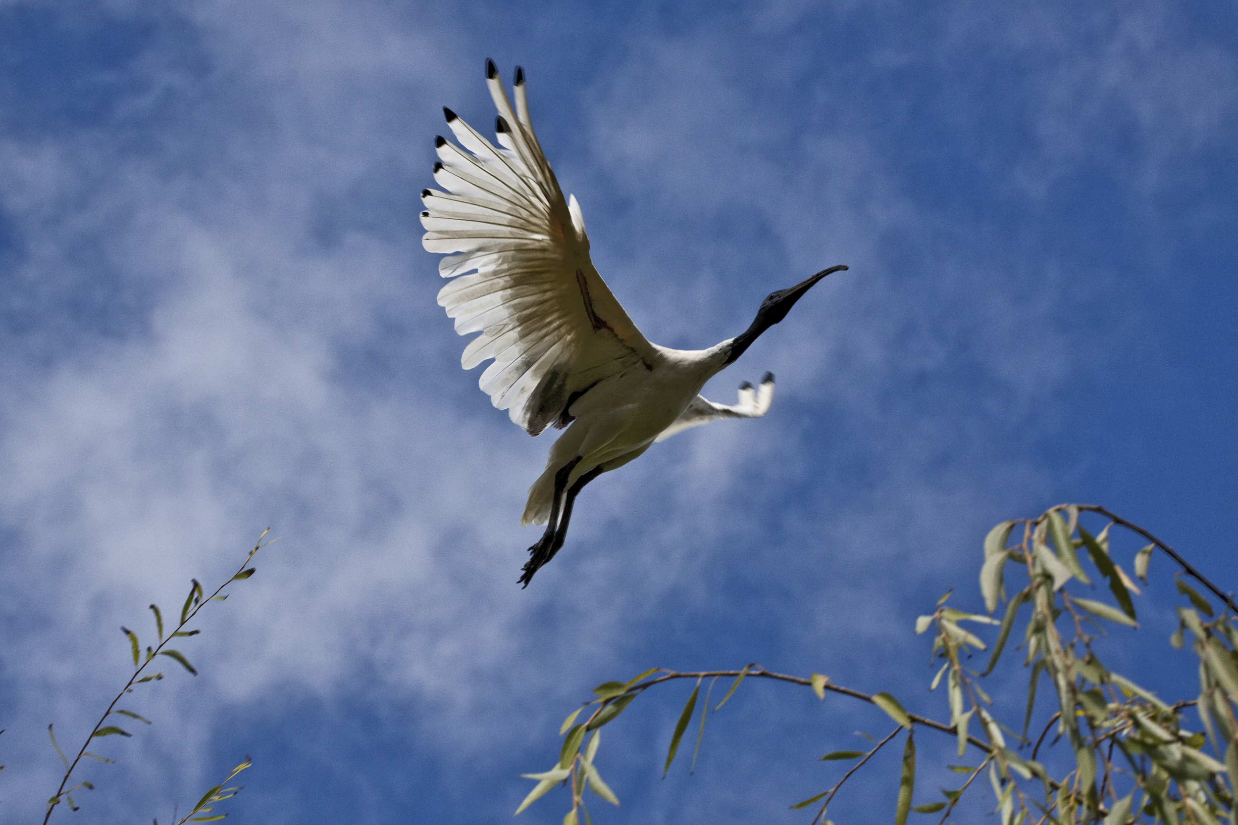 Ibis, Chinese Gardens, Sydney, NSW, Australia