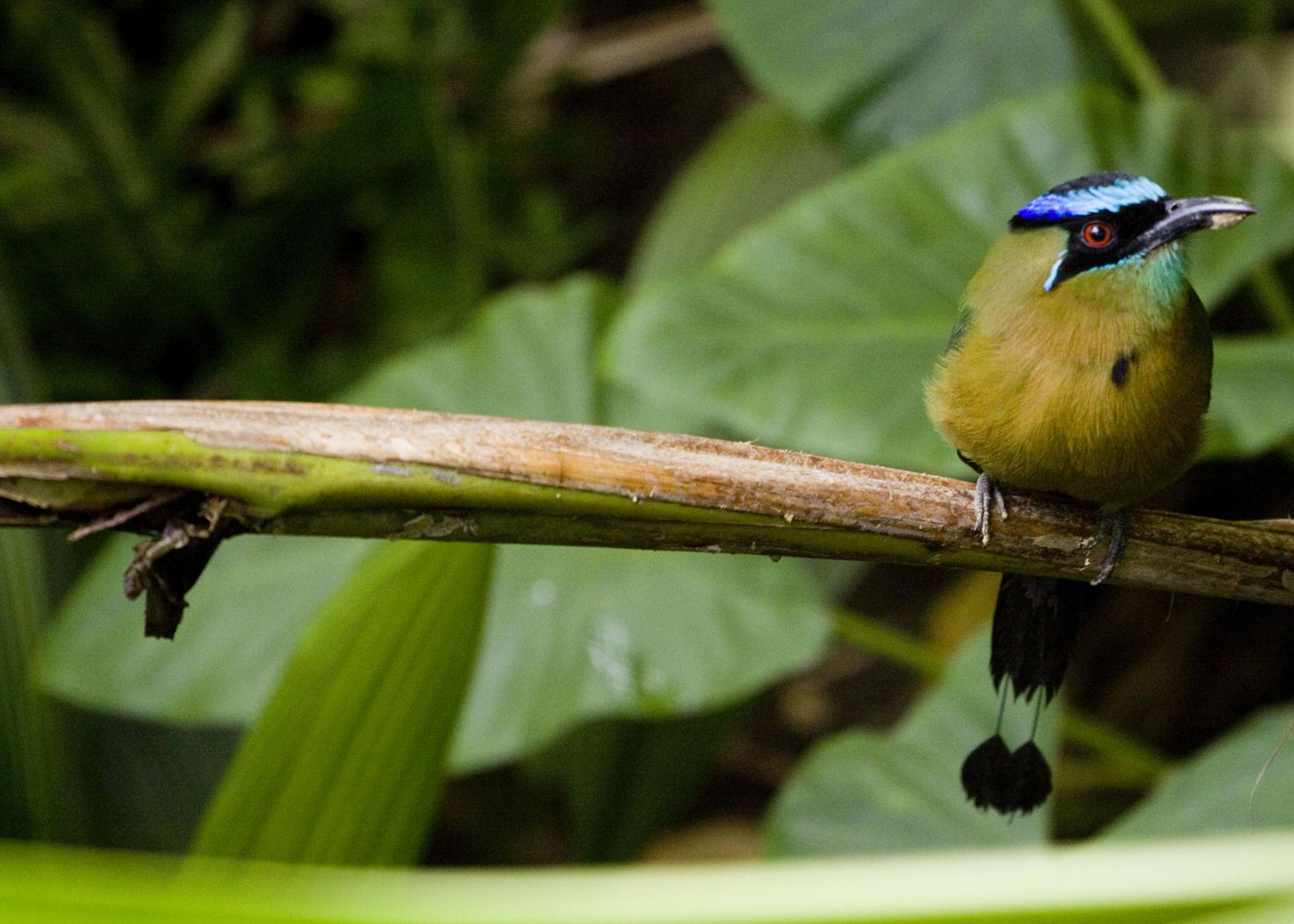 Mot mot, Manuel Antonio, Costa Rica
