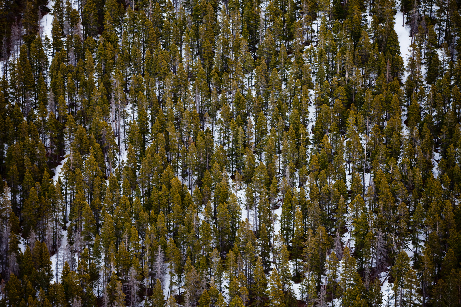 Evergreens from the sky