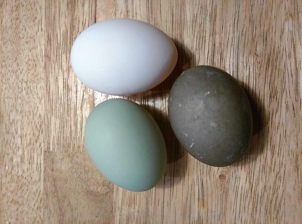 white = welsh, green = ancona, gray = cayuga