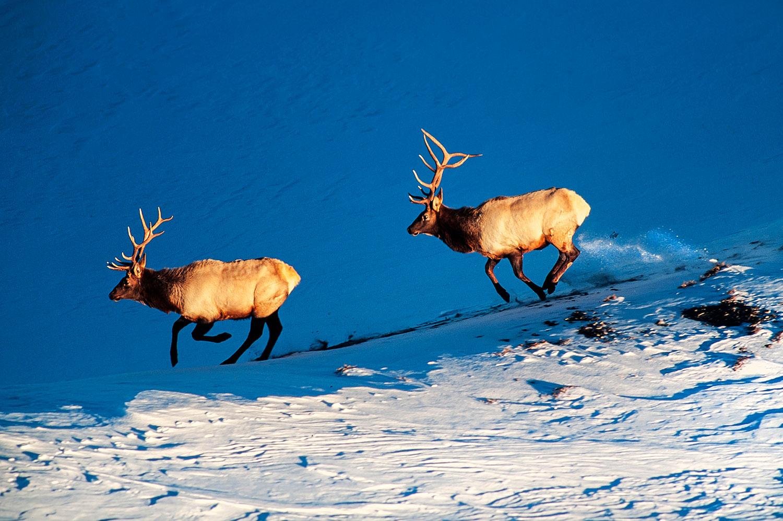 Aerial photo of elk, Yellowstone Park