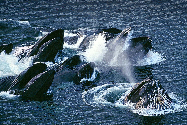 Aerial photo of Humpback Whales, Alaska