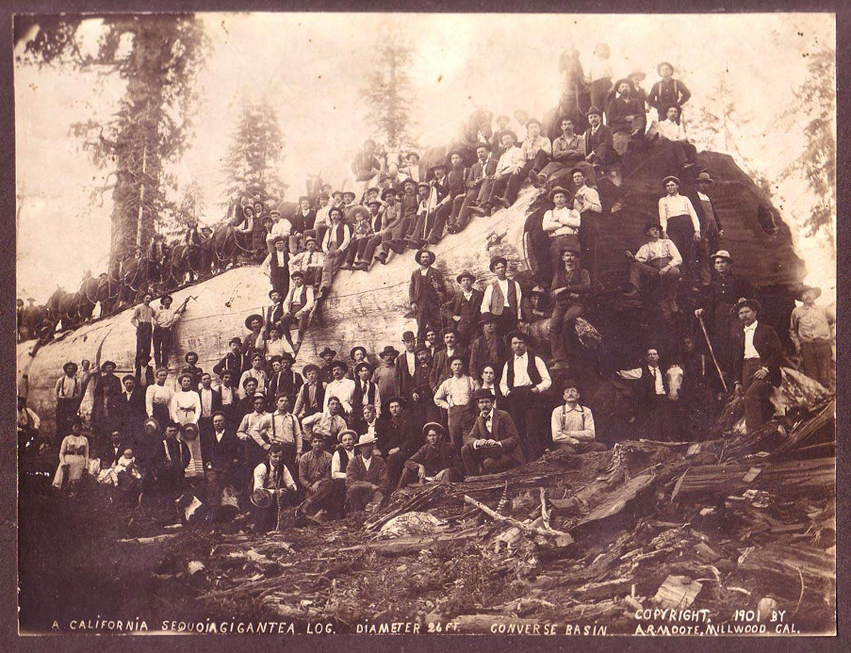 Late 19th century - felled redwood log