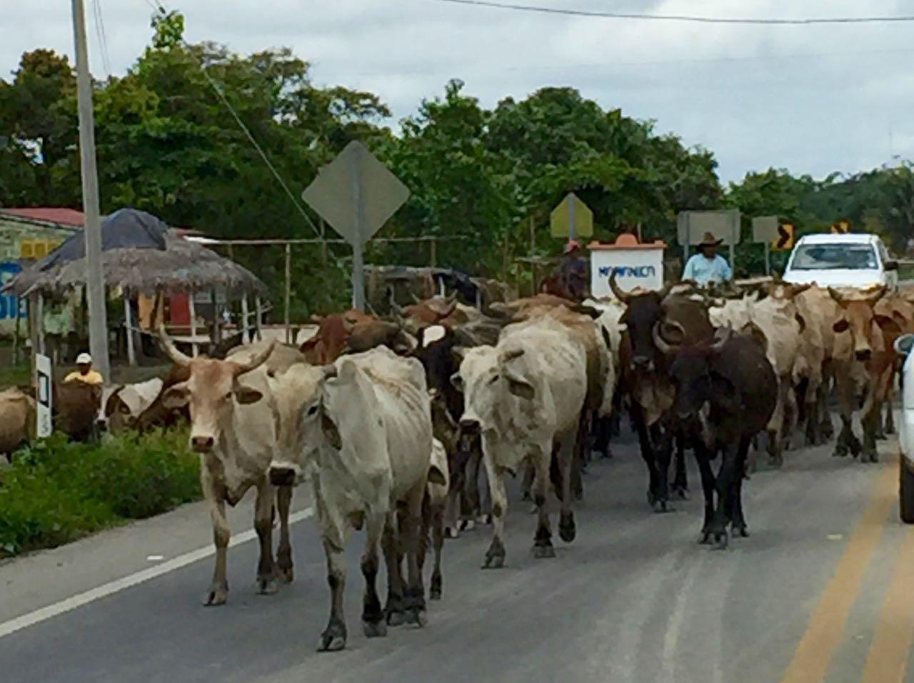 Cows on the Road, Ecuador.jpg