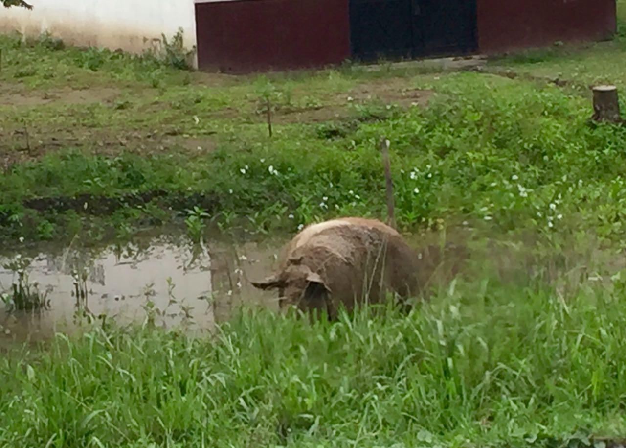 PIg in a Pond Ecuador.jpg