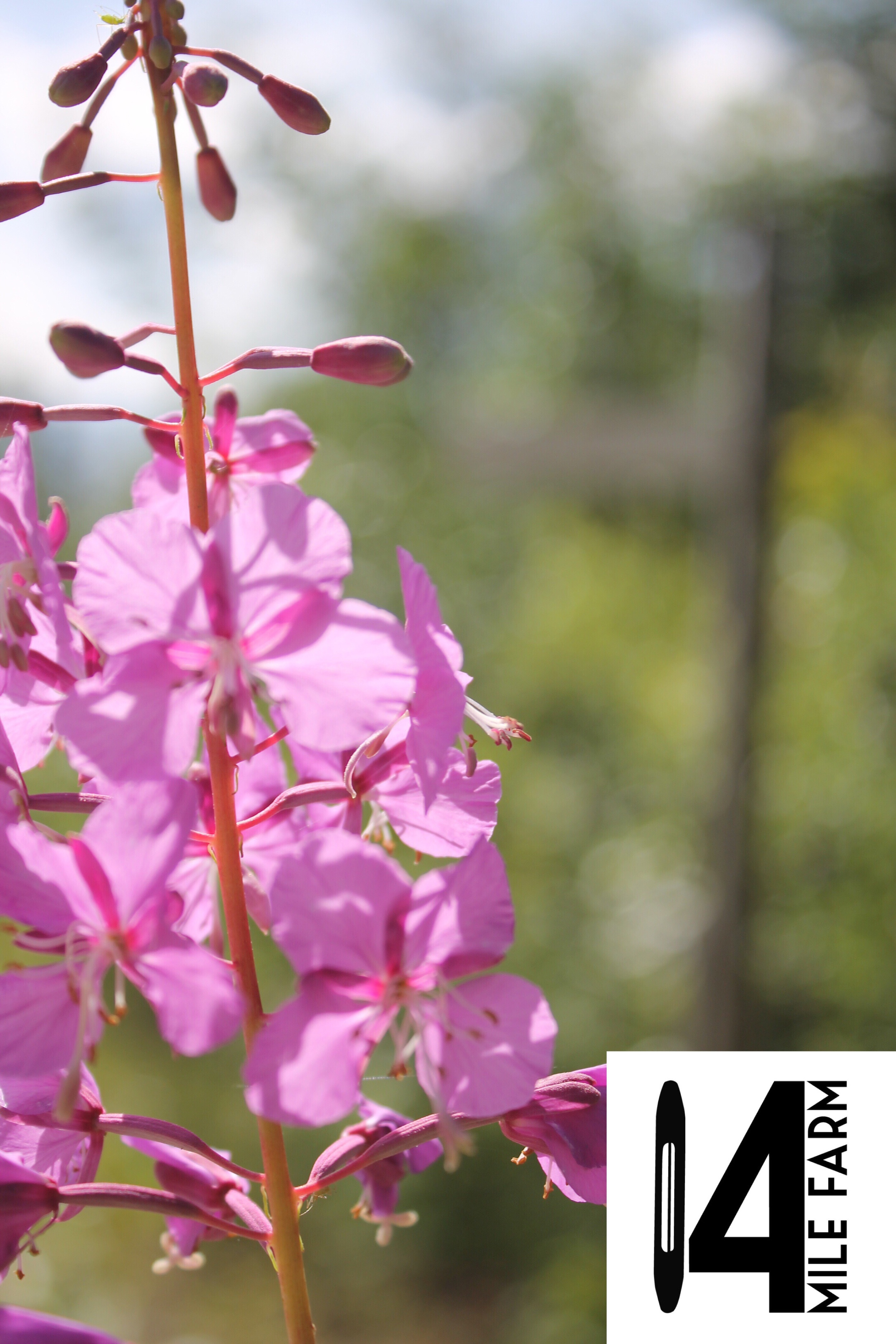 """FIreweed is the inspiration behind Alaskan artist's handwoven baby wrap """"Field of Dreams"""" by 14 Mile Farm"""