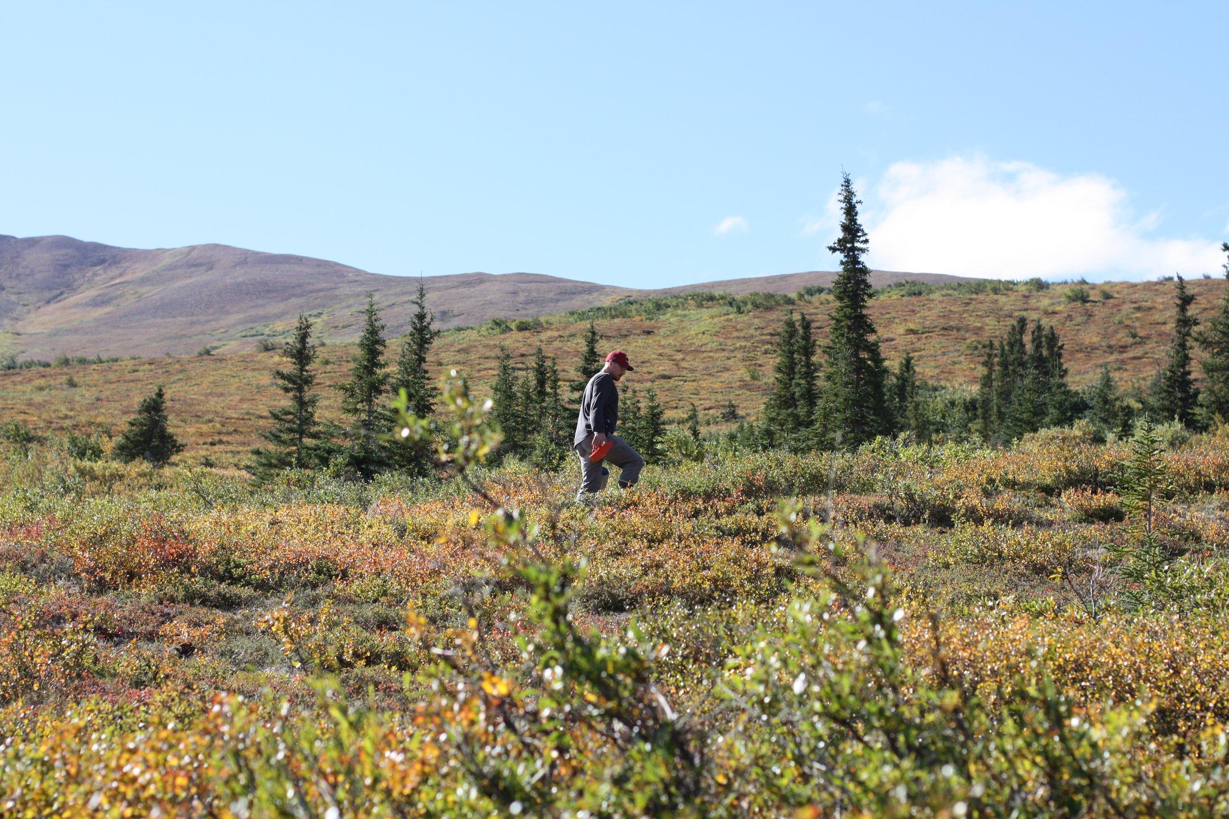 Berry picking 14 Mile Farm Handweaving and Homesteading in Alaska