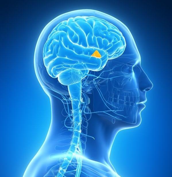 Say hello to your hypothalamus! Source: endocrineweb.com