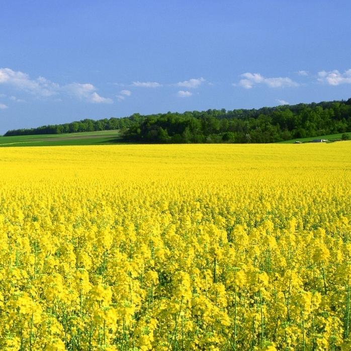 Mustard flower field
