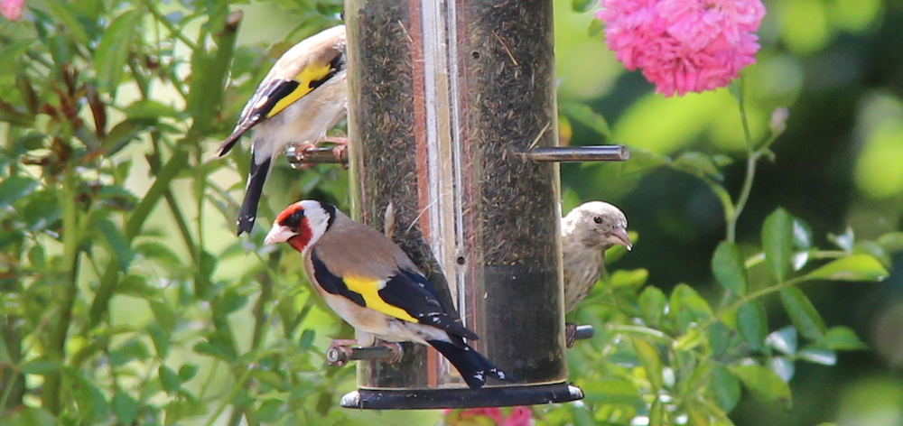 A family of Goldfinches in the back garden, July